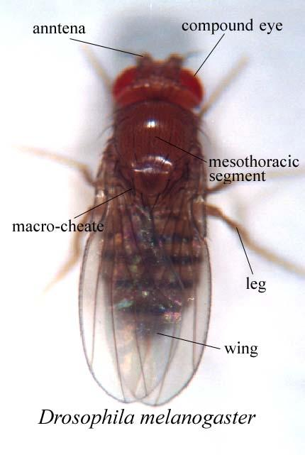 drosophila melanogaster sex linkage and In sex-linked inheritance all sons show the characters of their mother a male transmits his sex-linked character to his daughters, who show it if dominant and conceal it if recessive but any daughter will transmit such a character, whether dominant or recessive, to half of her sons.