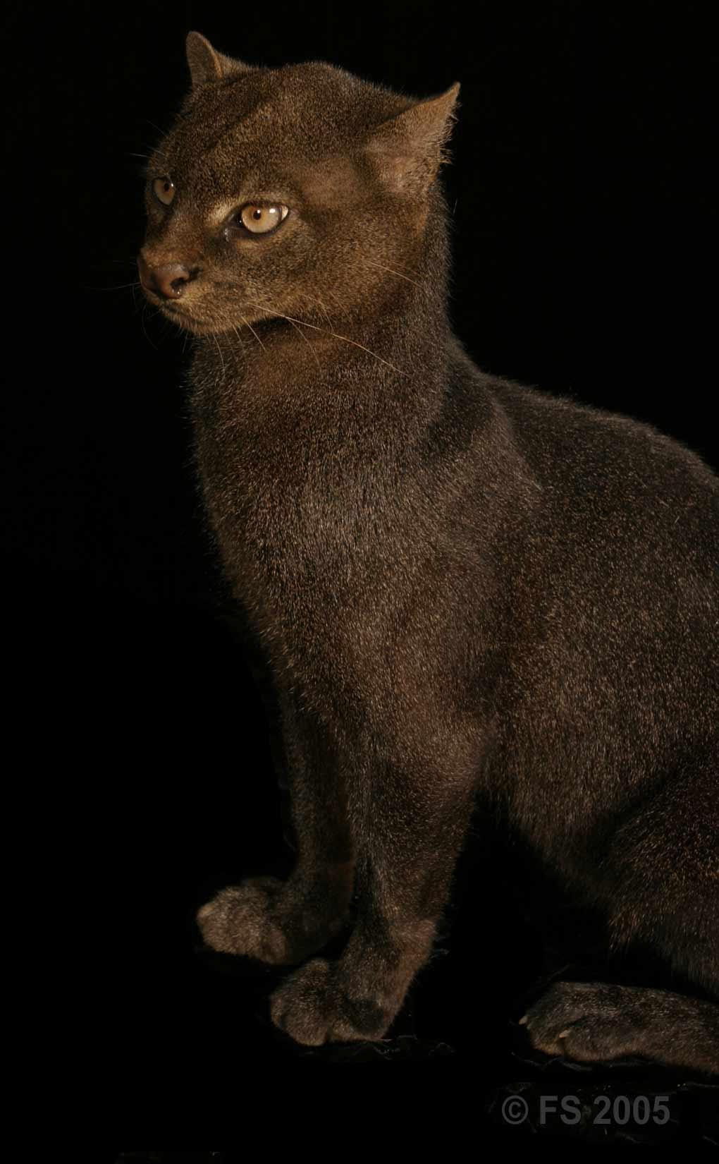 persian cat rescue md
