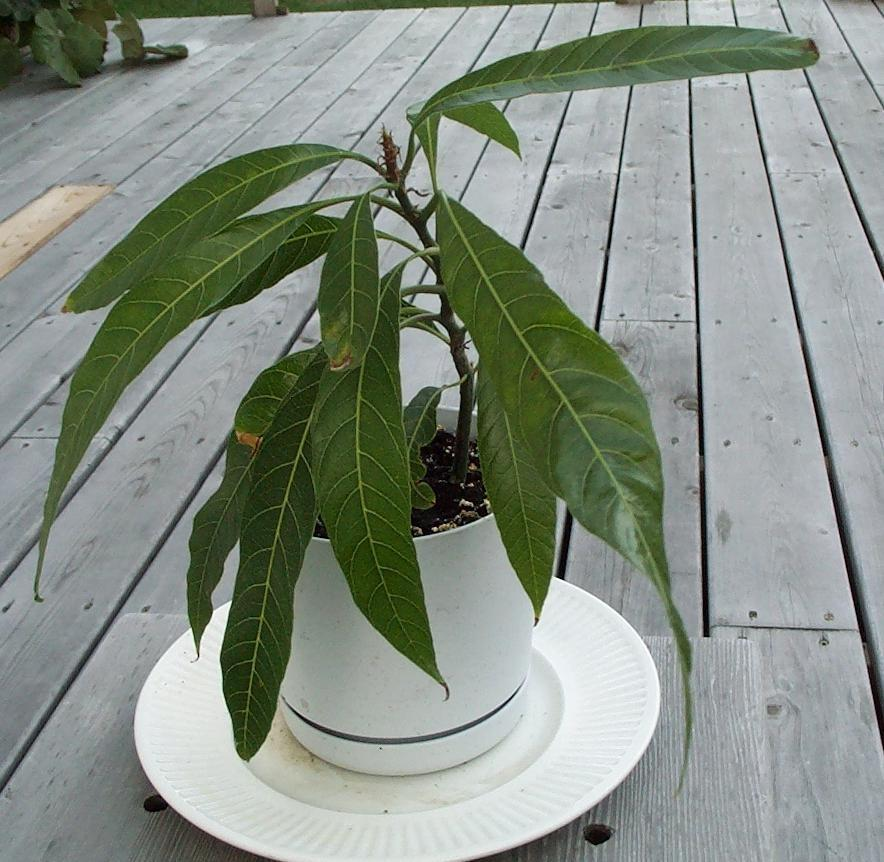 Если посадить косточку манго в домашних условиях