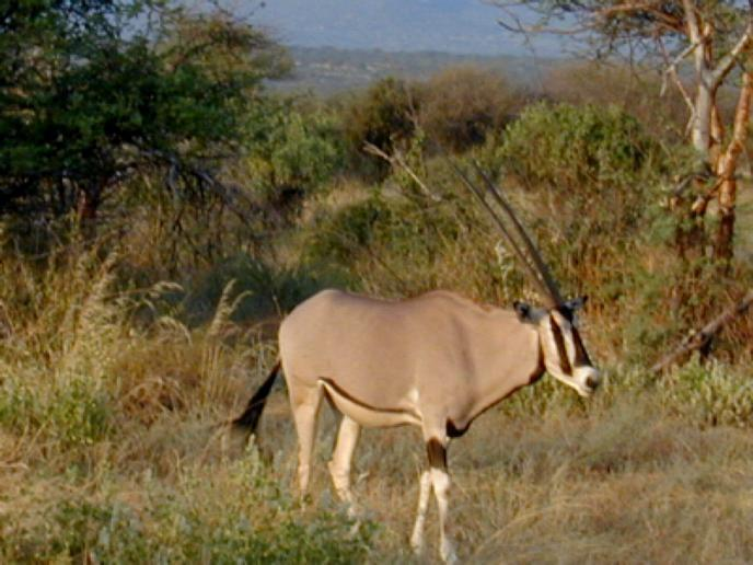 Kruger Park Wildlife Facts  Grazers amp Browsers Antelope
